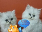 可爱萌萌哒金吉拉健康猫、纯种猫 可上门看猫公母都有