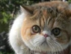 长期出售加菲猫咪红小胖 宠物猫物美价廉 多只可选