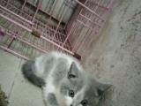 自家繁殖纯种蓝白英短猫