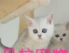 【贝拉宠物】最低布偶猫金吉拉猫蓝猫加菲猫,欢迎比价