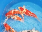 养红白锦鲤鱼的方案专家