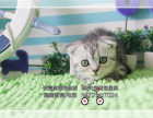 猫舍出售纯种折耳自家繁殖-品质保证-健康纯种