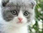 哪里有蓝猫卖 蠢萌型 健康无廯送货上门 支持空运