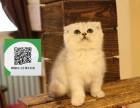 天津哪里有折耳猫出售 天津折耳猫价格 天津宠物狗出售信息
