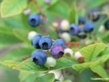 蓝莓虽小,威力却大