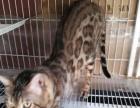 打包出售豹猫成母2只,种公1只