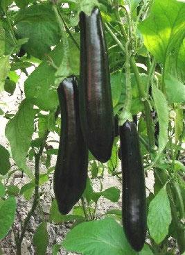 优质茄子种子厂商批发 寿光茄子种苗价格