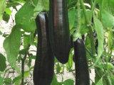 潍坊茄子种子批发_寿光茄子种子价格