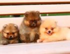 全国连锁双血统博美犬繁殖基地 本地可上门