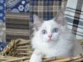 双蓝眼波斯猫特粘人纯种波斯猫 可选性格忠诚的波斯