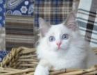 猫猫会所 可爱波斯蓝胖子 咋多种类可选 诚信交易
