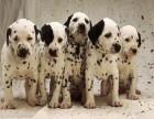 信誉服务 高端品质保障 纯种斑点犬 常年有货