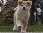纯种犬繁殖基地出售赛级品质纯血柴犬三针齐全包健康