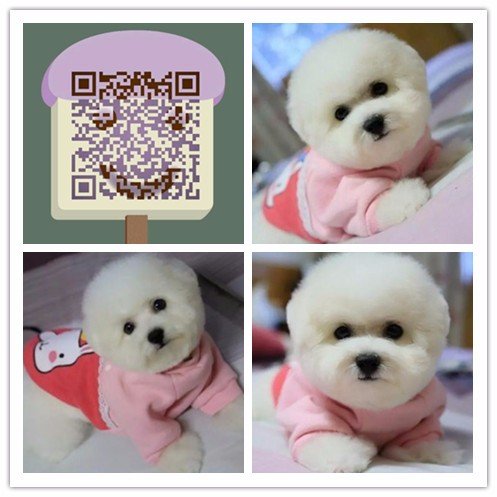 杭州哪里有比熊卖杭州纯种比熊多少钱杭州比熊较便宜多少钱