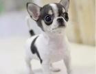 泉州哪里有吉娃娃幼犬卖 吉娃娃幼犬多少钱一只