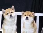 太原哪里有卖柴犬 纯种日系柴犬多少钱 赤色柴犬犬舍