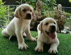 導盲犬拉布拉多出售中 保純保健康 免費飼養指導