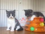 南宁蓝猫多少钱 南宁哪里出售的蓝猫幼犬价格最便宜