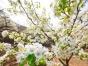 官场梨花节,春季踏青的好去处 农家菜,农家生活体验