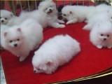 云南昆明本地哪里卖狗昆明狗场常年卖博美犬包运