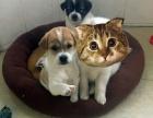 可爱宠物狗蝴蝶犬