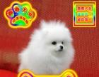 北京买球体博美犬——种公配种全天营业——京津冀送狗上门