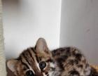 霸气宠物豹猫找家长