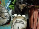 喜马拉亚猫咪很漂亮超可爱