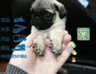 宠物店和狗市里的八哥犬可以买吗 健康的多少钱一只