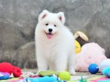 澳版 熊版萨摩幼犬 纯种公母齐全