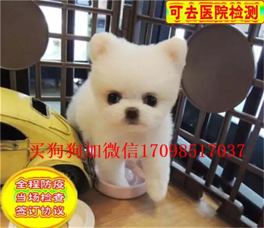 本地出售纯种博美俊介幼犬 纯白无杂毛 可上门挑选