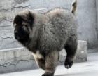 猛犬高加索繁殖基地长期繁殖优质纯种健康大骨架大毛量