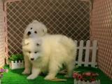 白白的小天使萨摩耶幼犬个个都是双眼皮,小萨摩幼犬