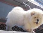 济南什么地方有狗场卖健康宠物狗济南哪里有卖纯种的松狮犬