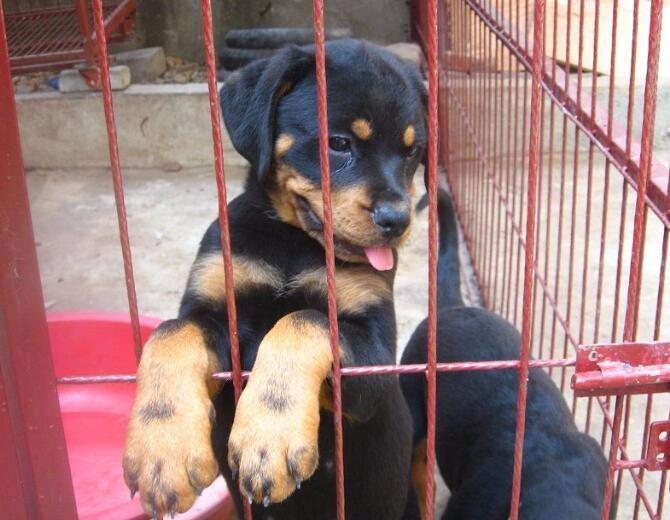 罗威纳 专业繁育罗威纳犬舍 品质保障