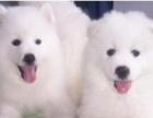 家养萨摩耶幼犬纯种萨摩耶狗狗出售 可小刀疫苗驱虫已做 可上门