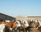 湛江哪里有肉牛西门塔尔肉牛养殖场