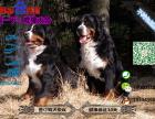 宠物店和狗市里的伯恩山犬可以买吗 健康的多少钱一只