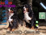 伯恩山犬多少钱一只/在哪里能买到