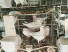 白羽王鸽 落地王鸽 种鸽培育基地
