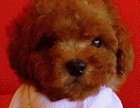 出售赛级泰迪犬 包犬瘟细小冠状 90天包退换签协议