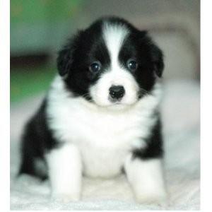 纯种边牧犬舍出售健康可爱边牧幼犬 保证纯种健康