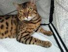 CFA高端繁育豹猫品质保障包健康