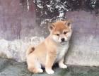 石家庄哪里有卖柴犬 纯种日系柴犬多少钱 柴犬好养吗 柴犬犬舍
