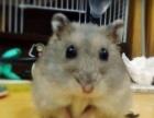 由于实习,出售眼圈金丝熊和三线鼠,附带一切日常用品
