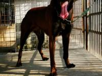 马犬幼犬多少钱,五个月马犬价格,成年马犬多少钱,哪里出售马犬