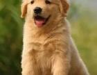 出售高品質金毛幼犬 包純種 包健康 可檢測 可簽協議