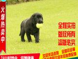 超酷超帅的拉布拉多犬 绝对纯种