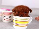 優質漂亮可愛大頭泰迪幼犬 健康精心照顧小體泰迪幼犬狗狗
