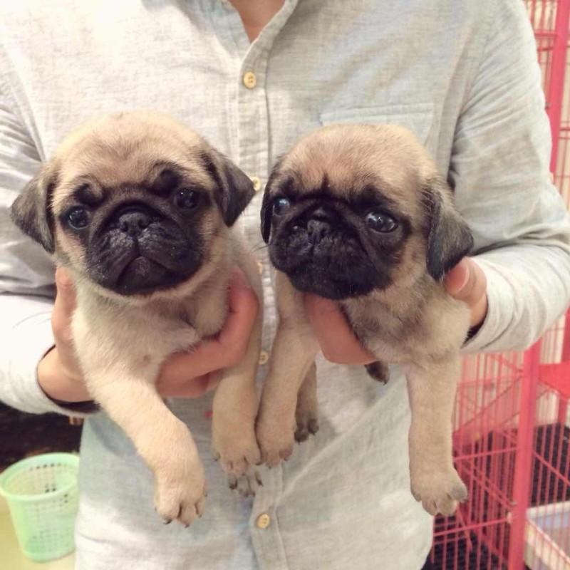 500起出售正规犬舍繁殖出售纯种虎头皱脸巴哥幼犬有协议有保障